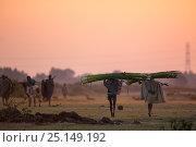 Купить «Nile grass (Cyperus papyrus) collectors carrying harvest at sunset, Jimba Wetlands, Lake Tana Biosphere Reserve, Ethiopia. December 2013.», фото № 25149192, снято 21 января 2018 г. (c) Nature Picture Library / Фотобанк Лори