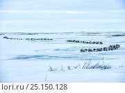 Купить «Nenet herdsman with Reindeer (Rangifer tarandus) during summer migration, Yamal Peninsula, Russia. May.», фото № 25150128, снято 24 августа 2019 г. (c) Nature Picture Library / Фотобанк Лори