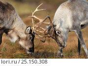 Купить «Reindeer (Rangifer tarandus) fighting, Cairngorms Reindeer Herd, Inverness-shire, Scotland, UK, December. Introduced species.», фото № 25150308, снято 16 августа 2018 г. (c) Nature Picture Library / Фотобанк Лори