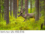 Купить «Forest reindeer, (Rangifer tarandus fennicus) Viiksimo, Kuhmo region. Finland, July. Rare subspecies which were nearly extinct in the 19th Century.», фото № 25150516, снято 22 апреля 2018 г. (c) Nature Picture Library / Фотобанк Лори