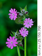 Купить «Red campion (Silene dioica) flowers in bloom. Dorset, UK May.», фото № 25150700, снято 21 июля 2018 г. (c) Nature Picture Library / Фотобанк Лори