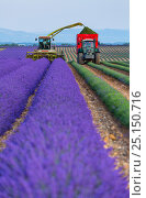 Купить «Harvesting Lavender (Lavendula angustifolia) in field,  Valensole Plateau, Alpes Haute Provence, France, July 2015.», фото № 25150716, снято 16 июля 2018 г. (c) Nature Picture Library / Фотобанк Лори