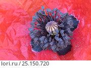 Купить «Corn poppy (Papaver rhoeas) close up of stamens, Peerdbos, Brasschaat, Belgium, July.», фото № 25150720, снято 22 сентября 2018 г. (c) Nature Picture Library / Фотобанк Лори