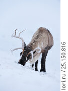 Купить «Reindeer (Rangifer tarandus), Cairngorms Reindeer Herd, Inverness-shire, Scotland, UK, December. Introduced species.», фото № 25150816, снято 16 августа 2018 г. (c) Nature Picture Library / Фотобанк Лори