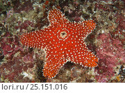 Купить «Striking sea star (Euretaster insignis) excreting waste from top opening. Indonesia, tropical West-Pacific Ocean.», фото № 25151016, снято 16 июля 2018 г. (c) Nature Picture Library / Фотобанк Лори