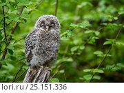 Купить «Ural owl (Strix uralensis) fledgling perched on tree stump in woodland, Bavarian Forest National Park, Germany, May. Captive.», фото № 25151336, снято 21 ноября 2018 г. (c) Nature Picture Library / Фотобанк Лори