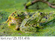 Купить «Two Edible frogs (Pelophylax esculentus) among duckweed in pond, La Brenne, Indre, France, June», фото № 25151416, снято 15 августа 2018 г. (c) Nature Picture Library / Фотобанк Лори