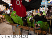 Various parrots from left to right,  Orange winged amazon (Amazona amazonica),  Scaly-naped amazon (Amazona mercenaria), two Chestnut-fronted macaws (Ara... Стоковое фото, фотограф Cyril Ruoso / Nature Picture Library / Фотобанк Лори