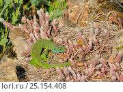 European green lizard (Lacerta viridis) amongst succulents, France. Стоковое фото, фотограф Dave Watts / Nature Picture Library / Фотобанк Лори