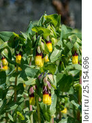Купить «Honeywort flowers (Cerinthe major) Syngrou Forest,, Athens, Greece, Mediterranean, March.», фото № 25154696, снято 22 мая 2018 г. (c) Nature Picture Library / Фотобанк Лори