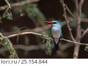 Купить «Woodland kingfisher (Halcyon senegalensis) perched in Acacia woodland on the banks of the Luvuvhu River, Kruger National Park, South Africa.», фото № 25154844, снято 20 июня 2019 г. (c) Nature Picture Library / Фотобанк Лори