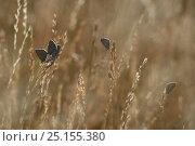 Купить «Group of Silver studded blues  (Plebejus argus) on grass, Lozere, France, July.», фото № 25155380, снято 24 января 2018 г. (c) Nature Picture Library / Фотобанк Лори