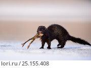 Купить «American mink (Mustela vison) on ice with Common frog (Rana temporaria) prey, Tartumaa, January . Introduced species.», фото № 25155408, снято 16 августа 2018 г. (c) Nature Picture Library / Фотобанк Лори
