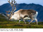 Купить «Svalbard reindeer (Rangifer tarandus platyrhynchus) Svalbard, Norway, August.», фото № 25155540, снято 24 августа 2019 г. (c) Nature Picture Library / Фотобанк Лори