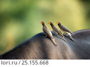 Купить «Yellowbilled oxpecker (Buphagus africanus) group of three of Buffalo,  back of Kruger National Park, South Africa.», фото № 25155668, снято 20 июня 2019 г. (c) Nature Picture Library / Фотобанк Лори