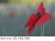 Купить «Corn poppy (Papaver rhoeas), De Inslag, Brasschaat, Belgium, June.», фото № 25156160, снято 21 августа 2019 г. (c) Nature Picture Library / Фотобанк Лори