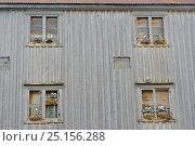 Купить «Kittiwakes (Rissa tridactyla) breeding in windows of an abandoned house, Batsfjord village harbour, Varanger Peninsula, Norway, March.», фото № 25156288, снято 19 сентября 2019 г. (c) Nature Picture Library / Фотобанк Лори