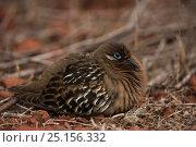Купить «Galapagos dove (Zenaida galapagoensis) on ground, Galapagos, endemic.», фото № 25156332, снято 19 июня 2019 г. (c) Nature Picture Library / Фотобанк Лори