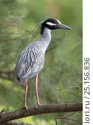 Купить «Yellow-crowned night heron (Nyctanassa violacea, formerly placed in the genus Nycticorax), Washington DC, USA, May.», фото № 25156836, снято 14 июля 2020 г. (c) Nature Picture Library / Фотобанк Лори