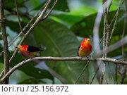 Купить «Band-tailed manakins (Pipra fasciicauda) males, Panguana Reserve, Huanuca province, Amazon basin, Peru.», фото № 25156972, снято 25 апреля 2019 г. (c) Nature Picture Library / Фотобанк Лори
