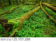 Купить «Moss covered fallen trees in old mixed conifer and broadleaf forest, Punia Forest Reserve, Lithuania, May.», фото № 25157288, снято 19 сентября 2019 г. (c) Nature Picture Library / Фотобанк Лори