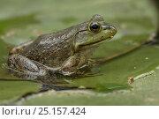 Купить «American bullfrog (Rana catesbeiana) in water, Virginia, USA, May.», фото № 25157424, снято 26 мая 2019 г. (c) Nature Picture Library / Фотобанк Лори