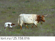 Купить «Cow with calf in pasture, Alentejo, Portugal, April.», фото № 25158016, снято 25 сентября 2018 г. (c) Nature Picture Library / Фотобанк Лори