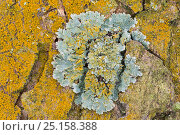 Купить «Gold dust lichen (Chrysothrix candelaris) growing around and over Shield lichen (Parmelia sulcata) on sycamore bark, Padley Woods, Derbyshire, England, UK, December.», фото № 25158388, снято 18 августа 2018 г. (c) Nature Picture Library / Фотобанк Лори