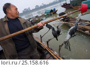 Купить «Fishermen fishing using domesticated Cormorants (Phalacrocorax carbo sinensis), washing the cormorants with water, Poyang Ho Lake, Jiangxi province, China», фото № 25158616, снято 25 марта 2019 г. (c) Nature Picture Library / Фотобанк Лори