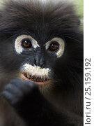 Dusky leaf monkey (Trachypithecus obscurus) portrait . Khao Sam Roi Yot National Park, Thailand. Стоковое фото, фотограф Anup Shah / Nature Picture Library / Фотобанк Лори
