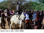 Купить «Naked Hamer boy ready to leap across line of bulls, as part of the Jumping of the Bulls ceremony which marks the transition into manhood. Ethiopia, November 2014», фото № 25159380, снято 17 августа 2018 г. (c) Nature Picture Library / Фотобанк Лори