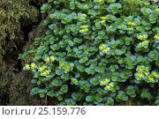 Купить «Opposite-leaved golden saxifrage (Chrysosplenium oppositifolium). Peak District National Park, Derbyshire, UK. March.», фото № 25159776, снято 18 октября 2018 г. (c) Nature Picture Library / Фотобанк Лори