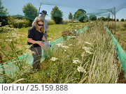 Купить «Emily Howard-Williams placing a grain feeding station equipped with an automatic Radio Frequency Identification (RFID) monitor to survey Harvest mice ...», фото № 25159888, снято 24 октября 2018 г. (c) Nature Picture Library / Фотобанк Лори