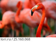 American flamingo (Phoenicopterus ruber) captive at Singapore Zoo. Occurs in Latin America and the Caribbean. Стоковое фото, фотограф Cyril Ruoso / Nature Picture Library / Фотобанк Лори