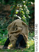 Chimpanzee (Pan troglodytes) playing, hiding in hessian bag, captive in zoo. Стоковое фото, фотограф Cyril Ruoso / Nature Picture Library / Фотобанк Лори