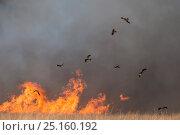 Купить «Black kites (Milvus migrans) gathering in flocks around bush fire to prey on small animals as these flee the flames, Queensland, Australia.», фото № 25160192, снято 15 июля 2020 г. (c) Nature Picture Library / Фотобанк Лори