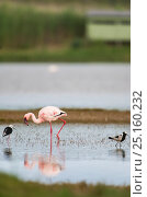 Купить «Lesser flamingo (Phoenicopterus minor / Phoeniconaias minor) in the water, with bird hide in the background,  Rocherpan National Park, Western Cape, South Africa.», фото № 25160232, снято 17 июня 2019 г. (c) Nature Picture Library / Фотобанк Лори