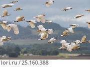 Sulphur-crested cockatoo (Cacatua galerita) flock in flight,  Atherton... Стоковое фото, фотограф Jurgen Freund / Nature Picture Library / Фотобанк Лори