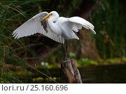 Купить «Great egret (Ardea alba egretta) fishing, Xochimilco wetlands, Mexico City, June», фото № 25160696, снято 5 июля 2020 г. (c) Nature Picture Library / Фотобанк Лори