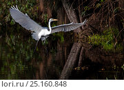 Купить «Out of focus ** DELETED*** Great Egret (Ardea alba) flying, Xochimilco wetlands, Mexico City, January», фото № 25160848, снято 12 июля 2020 г. (c) Nature Picture Library / Фотобанк Лори