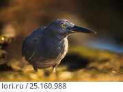 Купить «Lava heron (Butorides sundevalli) on shore, Galapagos. Endemic species.», фото № 25160988, снято 17 февраля 2020 г. (c) Nature Picture Library / Фотобанк Лори