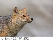Andean fox (Lycalopex culpaeus) portrait, Tierra del Fuego, Argentina. Стоковое фото, фотограф Ole Jorgen Liodden / Nature Picture Library / Фотобанк Лори