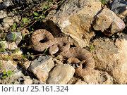 Купить «Western diamondback rattlesnake (Crotalus atrox)  high angle view, Arizona, USA, September. Controlled conditions.», фото № 25161324, снято 17 января 2019 г. (c) Nature Picture Library / Фотобанк Лори