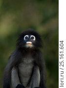 Dusky leaf monkey (Trachypithecus obscurus) juvenile portrait  . Khao Sam Roi Yot National Park, Thailand. March 2015. Стоковое фото, фотограф Anup Shah / Nature Picture Library / Фотобанк Лори