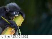 Dusky leaf monkey (Trachypithecus obscurus) feeding on palm . Khao Sam Roi Yot National Park, Thailand. Стоковое фото, фотограф Anup Shah / Nature Picture Library / Фотобанк Лори
