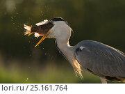 Купить «Grey heron (Ardea cinerea) feeding on cyprionid fish/carp species in fish farm pond,  Pusztaszer protected landscape, Kiskunsagi, Hungary, May», фото № 25161764, снято 24 января 2019 г. (c) Nature Picture Library / Фотобанк Лори