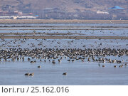 Various ducks (Anatidae) on the coast of Napahai Lake, Zhongdian County, Yunnan Province, China. January. Стоковое фото, фотограф Dong Lei / Nature Picture Library / Фотобанк Лори