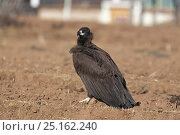 Cinereous vulture (Aegypius monachus) on ground, Napahai Lake, Zhongdian County, Yunnan Province, China. January. Стоковое фото, фотограф Dong Lei / Nature Picture Library / Фотобанк Лори