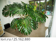 Купить «Cheese plant or Mexican bread plant.  (Monstera deliciosa)  in house.», фото № 25162880, снято 24 мая 2018 г. (c) Nature Picture Library / Фотобанк Лори