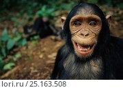 Chimpanzee (Pan troglodytes) close up portrait, Bakoumba sanctuary... Стоковое фото, фотограф Cyril Ruoso / Nature Picture Library / Фотобанк Лори